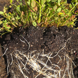 Trifolium Wormskioldi roots in a pot
