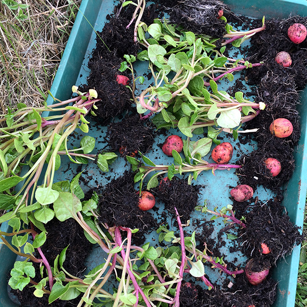 Sprouted Ulluco tubers