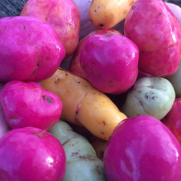 Freshly harvested Ulluco, Yellow, Pica de Pulga, Ravelo Lisa and purple varieties.