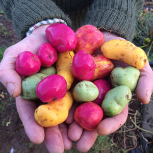 Yellow, Pica de Pulga, Ravelo Lisa (green) and Purple Ulluco tubers.