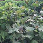 Yacon plants