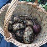 Some baked potato size Yacon tubers freshly lifted