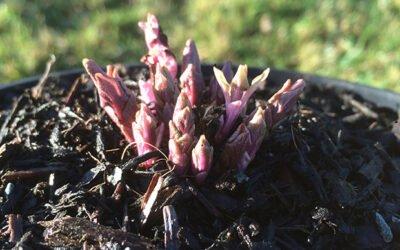 Hablitzia sowings and seedlings
